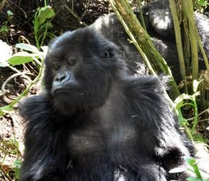 Gorilla Trekking Adventures